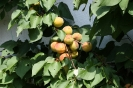 Aprikosen Baum