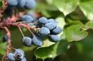 Blaue Beeren der Mahonie