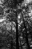 Blätterdach in schwarz weiß