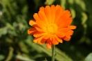 orangene Ringelblume