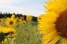halbe Sonnenblume