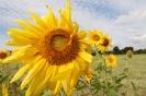 Feld mt Sonnenblumen