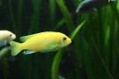 gelber Fisch