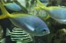 gelb blauer Fisch