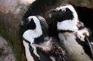 zwei Humboldt-Pinguine