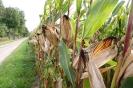 Maiskolben am Wegesrand