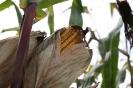 einzelner Maiskolben