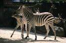 da raufen zwei Zebras