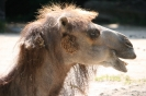 Kamel (Camelidae)