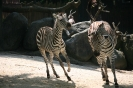 zwei sich jagende Zebras