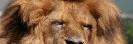 Löwe, der König der Tiere
