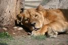 Löwin beim Mittagsschlaf