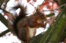 Eichhörnchen # 2