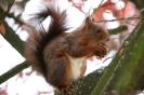 Eichhörnchen # 1