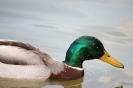 Ente auf Nahrungssuche