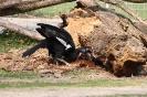 Sudanhornrabe