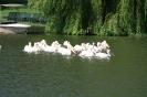 Pelikane auf dem See