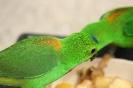 kleiner grüner Papagei