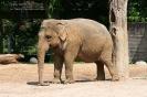 Elefanten Kuh